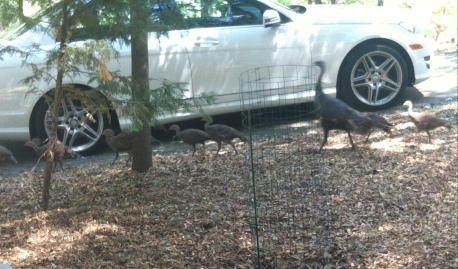 Mama and baby turkeys (taken before evacuation)